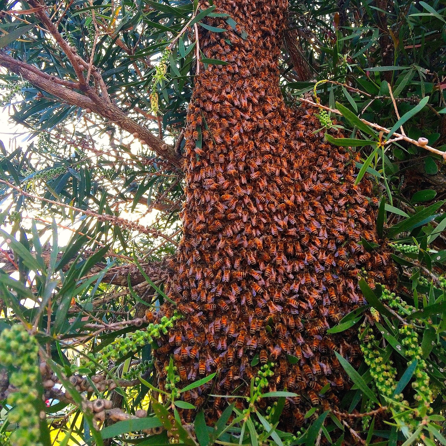 swarm hanging from a tree